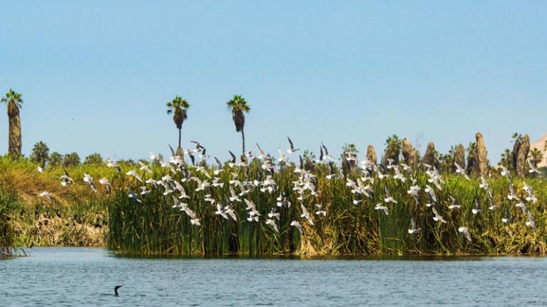 Las aves migratorias de los pantanos de villa